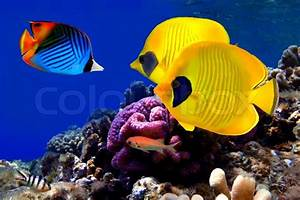 Astrologie Kostenlos Berechnen : underwater image of coral reef and masked butterfly fish stock photo colourbox ~ Themetempest.com Abrechnung