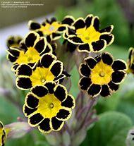 Silver Lace Black Primrose Flowers