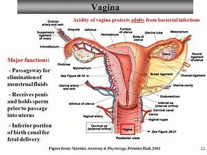 Vagina Anatomy And Function Diagram