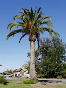 Pygmy Date Palm Tree : Medium - Real, palm Trees - Home