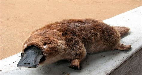 ornitorrinco  mamifero muy extrano animales en peligro