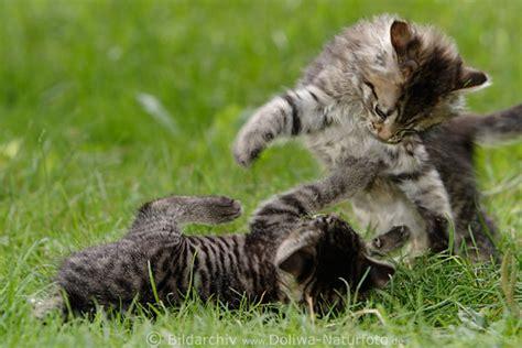 katzenspiele foto kaempfe auf wiese jungtiere paar