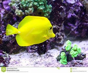 Yellow Tropical Fish Swimming In The Sea Stock Images ...