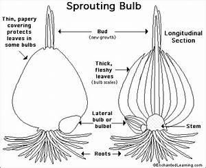 Bulb Anatomy Printout