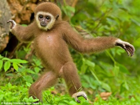 Funky Gibbon! The Delightful One-year-old Ape Who Just