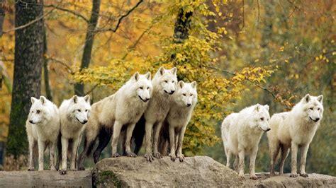Wallpaper Hd Animals Wallpaper Pack - branco di lupi bianchi animali sfondi desktop gratis