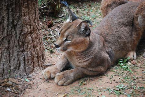 Wild Cats In Texas Panhandle Idalias Salon