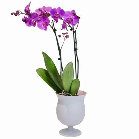 orchidea vaso orchidea phalenopsis consegna a domicilio di fiori e