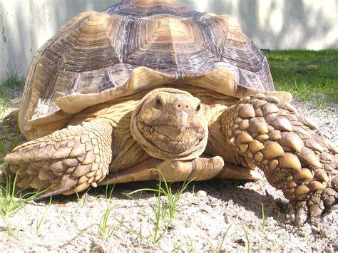le uv tortue 28 images le uv pour tortue 28 images tortue de terre en terra depuis 1 an pas