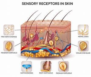 Sensory Receptors In The Skin Stock Vector