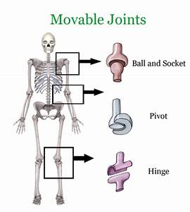 Skeletal System Joints