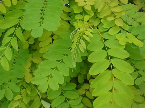 leaves tree locust tree pictures photos facts on locust trees
