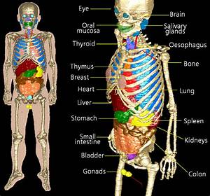 Frontal View Human Body Organs