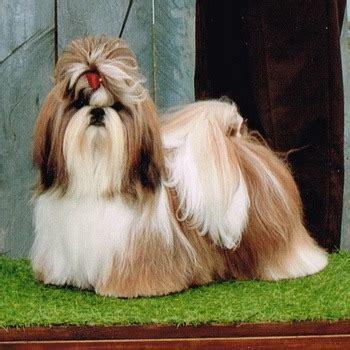 shih tzu dogs  breeders  canada canadogs