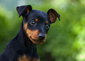 Miniature Pinscher Dog Breed - My Pet's Instinct
