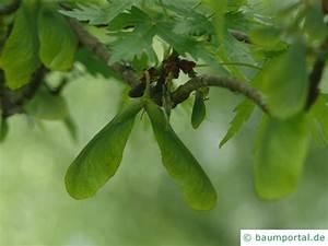 Ahorn Frucht Name : silber ahorn geschlitztbl ttriger acer saccharinum 39 wieri 39 ~ Frokenaadalensverden.com Haus und Dekorationen