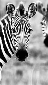 White And Black : wallpaper zebra black white couple cute animals animals 10314 ~ Medecine-chirurgie-esthetiques.com Avis de Voitures