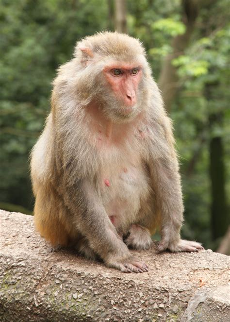 rhesus macaque wikipedia