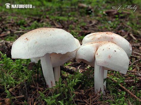 Penizovka skvrnita - Rhodocollybia maculata Pictures ...