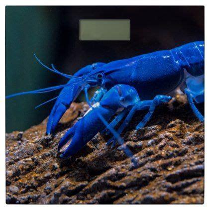 blue lobster sitting   rock underwater bathroom scale