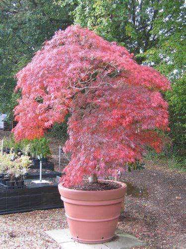 japanischer ahorn formschnitt cottage nursery japanese maples garden ideas acer palmatum japanese maple und