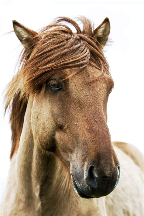 horse icelandic donkey mule between horses animals differentiate animal istock appearance