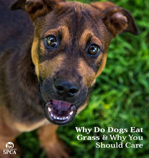 why do puppies eat why do dogs eat grass and why you should care
