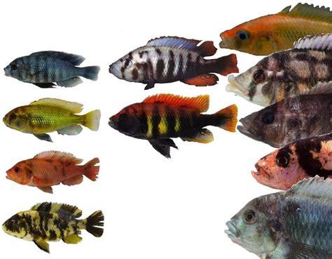 lake victoria fish fish pinterest