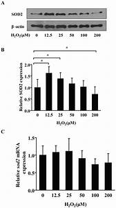 A  Along With The Increase Of H2o2 Concentrations  The Sod2 Protein