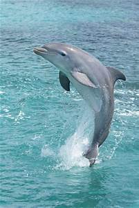 Dolphins Jumping In The Air - wallpaper.