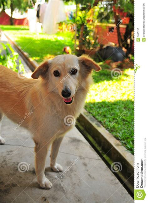 cute adult dog stock image image  labrador retriever