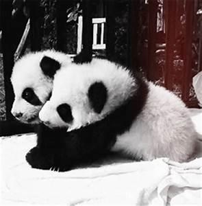 animals Panda animal bear gifset Pandas baby panda panda bear