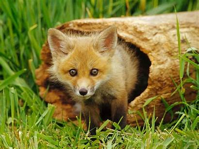 Fox Wallpapers Cool Background Foxes Backgrounds Awesome
