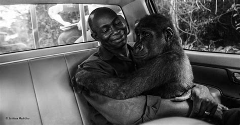 gorilla hugging man  saved  life wins photographer