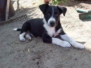 images border collie cross jack russell terrier   Border ...