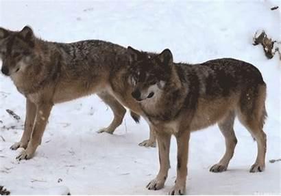 Wolf Wolves Animals Spirit Gifs Tribal Hunts