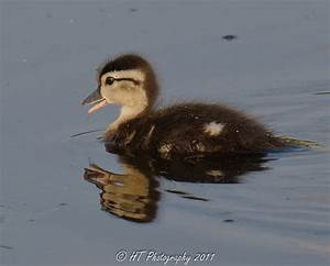 Baby Wood Duck | Flickr - Photo Sharing!
