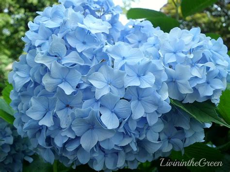 hydrangeas for shade livin in the green hydrangeas amazing color for the shade