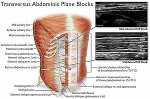 Anatomy Of The Anterolateral Abdominal Wall And The Us