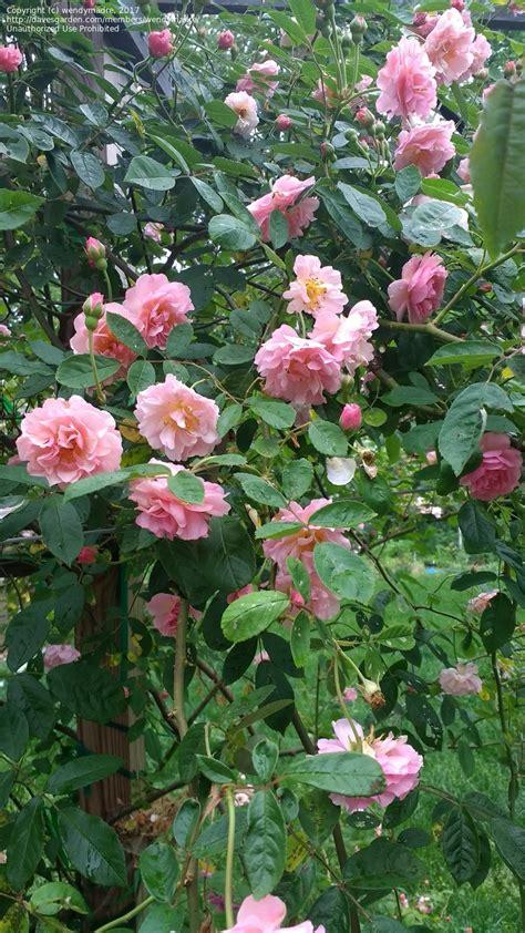 plantfiles pictures hybrid musk shrub rose cornelia