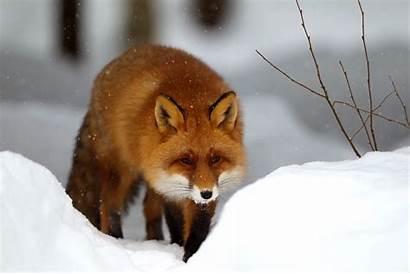 Fox Snow Winter Foxes Inkbluesky Fluffy Wall