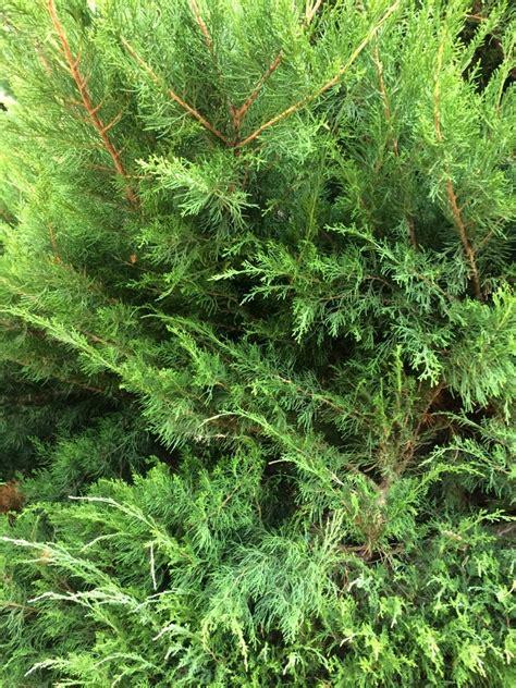 wann koniferen schneiden wann koniferen schneiden koniferen nadelholzgew chse