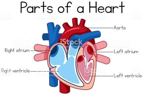 parts  heart diagram stock illustration  image