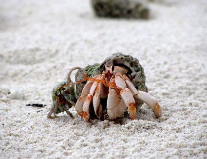 do hermit crabs shed molting hermit crabs advice on care