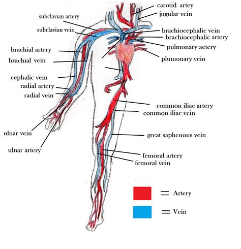 Diagram Of Arm Vessel by Arteries And Veins Blood Vessel Diagram The Circulatory