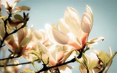 Magnolia Wallpapers Spring Glow Desktop Backgrounds Rhapsody
