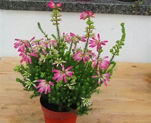 Heidekraut Winterhart Kaufen : erica verticillata s dafrikanisches heidekraut ~ Lizthompson.info Haus und Dekorationen