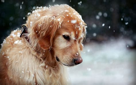 Dog Wallpapers Hd
