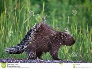 Porcupine Royalty Free Stock Photo - Image: 25411455