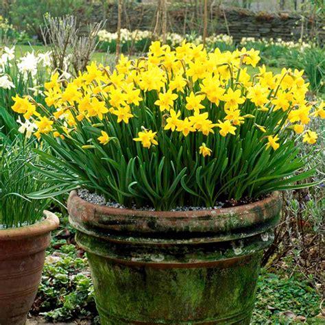 daffodil bulbs tete a tete dobies